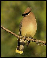 cedar waxwing (Christian Hunold) Tags: cedarwaxwing songbird bird zedernseidenschwanz bokeh johnheinznwr philadelphia christianhunold