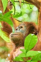 BOR_9266 (lucvanderbiest) Tags: orangoetang borneo maleisië sabah sepilok rainforestdiscoverycenter