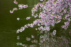 Happy Mother's Day (Ben-ah) Tags: mothersday sakura cherryblossoms lake pond reflection springtime spring garden bbg brooklynbotanicgarden