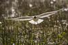 Hettemåke - Chroicocephalus ridibundus - Black-headed Gull - D8F_2377 (Viggo Johansen) Tags: hettemåke chroicocephalusridibundus blackheadedgull birds inflightshot flying