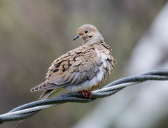Mourning Dove (Laura Erickson) Tags: stlouiscounty peabodystreet duluth places minnesota columbiformes birds columbidae mourningdove species