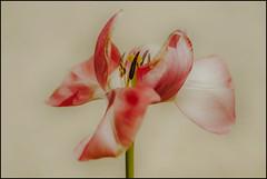 Doorkijkje (maartenappel) Tags: bloemen bollen kleurem canon tulpen