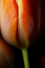 variegation (JonathanCohen) Tags: tulip flower stem macro closeup form stripes variegated explored
