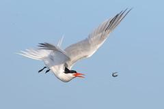 Come back here!!! (bmse) Tags: elegant tern bolsa chica fish toss flip canon 7d2 400mm f56 l bmse salah baazizi wingsinmotion