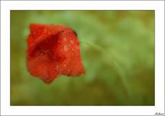 Lágrimas de despedida (V- strom) Tags: flor amapola macro rojo red verde green nikon poppy flowers naturaleza nature macrophotography nikon2470 nikon105mm concepto concept agua water texturas textures rocío dew lágrimas tears macrofotografía