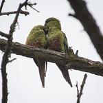 Cachaña (Enicognathus ferruginous minor) Austral parakeet thumbnail