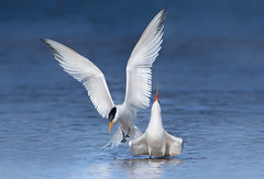 Elegant Courting (bmse) Tags: elegant terns courting bolsa chica canon 7d2 400mm f56 l bmse salah baazizi wingsinmotion