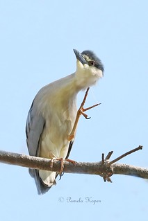 Ahhh, that feels better! - Black-crowned Night Heron scratching an itch
