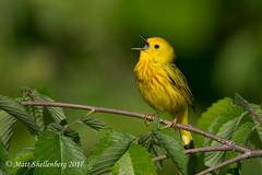 Yellow Warbler (Matt Shellenberg) Tags: yellow warbler yellowwarbler