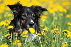 Joey (Flemming Andersen) Tags: animal joey mælkebøtter outdoor spring yellow bordercolli dandelions dog flower nature pet jelling regionsyddanmark denmark dk