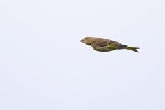 HNS_7514 Putter vr : Chardonneret eleganz : Carduelis carduelis : Stieglitz : Eurasian Goldfinch