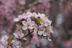 Blossoms, blossoms, and more blossoms... (MomOfJasAndTam) Tags: blossom blossoms flowers flower flora plant tree branch dof depthoffield bokeh pink stamen anther filament