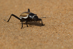 Tock-tock desert beetle (Mr.Green038) Tags: winner tocktock desert beetle over more than 200 species excist these deserts including namib functions main food source for high variety dwelling animals water condensating