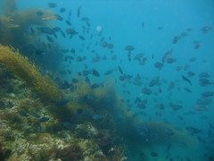 Surrounded by fish (norcal diver down) Tags: catalina underwater diving scuba pacific