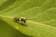 Andrena species, male (henk.wallays) Tags: