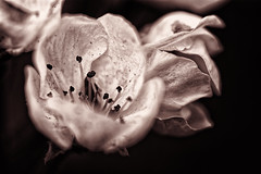 Aged Blossom (Alfred Grupstra) Tags: nature closeup blackandwhite plant white flower backgrounds macro blackcolor freshness singleflower petal nopeople blackbackground