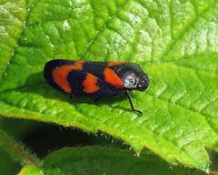 Cercopis vulnerata (erdragonfly) Tags: cercopisvulnerata