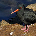 The variable oystercatcher (Haematopus unicolor)