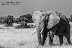 20160217-08-19-05_C018659 BW 2000px (ajm057) Tags: 8takenusing africa africanelephantloxodontaafricana africanbushelephantloxodontaafricana amboselinationalpark andymillerphotolondonuk blackwhitephotography elephantidaeelephants kenya loxodonta mammal nikond810 proboscideaelephants reservesparks wildlifephotography kajiado ke african elephant