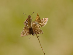 Dingy Skippers (Severnrover) Tags: dingy skipper rodborough common mating butterflies butterfly uk