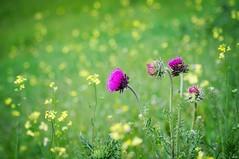Wild flowers (Emese Ruzsa) Tags: