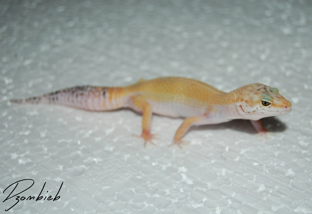 The World's newest photos of geckos and leopard - Flickr