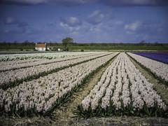 P4230004 (Finalfoto.nl) Tags: tulpen bollen tulps kleuren tulp tulips rood geel groen bloemen bloem