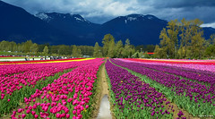 Tulips of the Valley Festival (SonjaPetersonPh♡tography) Tags: tulipsofthevalleyfestival tulipsofthevalley tulipsfields nikon nikond5200 flowers tulips tulip gardens festival fraservalley chilliwack britishcolumbia canada blooming spring springtime blooms fields tulipfields tulipfestival people visitors landscape