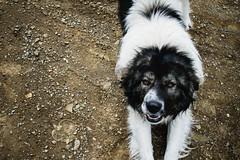 Doggo (kaloyangerginov) Tags: mountain people flower animal dog ком планина берковица гледки landscape