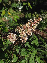 Nandina domestica, in flower (Melinda Young Stuart) Tags: nandinadomestica flowers spring pink shrub
