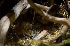 Harvest mouse | Horniman Museum | May 2017 (Paul Dykes) Tags: hornimanmuseum museum sydenham london england uk museums harvestmouse micromysminutus mouse animals