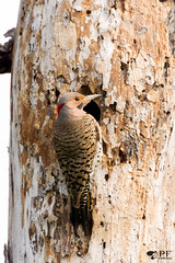 ''Au nid!'' Pic flamboyant- Red-shafted (pascaleforest) Tags: oiseau bird passion nikon nature faune wild widllife québec canada stsulpice printemps spring nid nest wood bois arbre