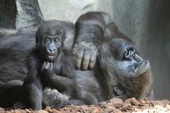Gorille de côte (olivier.ghettem) Tags: bioparcvalencia valence valencia espagne spain gorille gorilledecôte primate primates ape grandsinge afrique africa afriqueéquatoriale bébéanimal bébé