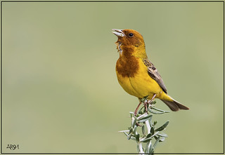 BIRD NAME : RED HEADED BUNTING