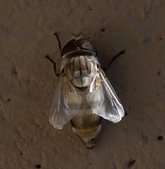 Almost Ready... (harefoot1066) Tags: diptera aschiza syrphidae syrphidfly eristalinae volucellini copestylum