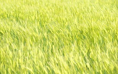 sea of the wheat (tyodai) Tags: α7 a7 ilce7 sel70200g 麦 wheat