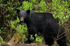 My 1st Bear of the year (r) (Blingsister-Melanie) Tags: americanblackbear blackbear bear ursusamericanus mammal wildblackbear wildbear blingsister canon canon7dmarkii canonef100400mmf4556lisiiusm14xiii southernvancouverisland
