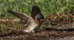 An American cliff swallow gathers pine needles for the nest at Patoka Lake, Indiana. (flintframer) Tags: swallow cliff american birds wow indiana nature wildlife dattilo nesting park state lake patoka ef600mm 7d markii 14x canon