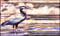 Great blue heron - Gran garza azul (Leo Bar) Tags: birds water waterbirds colorful painting pixinmotion oilpainting texture compositing leobar nature northeast newengland netartii awardtree