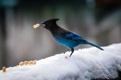 Steller's Jay offering a peanut.. (CORDAN) Tags: 2017 cordan dmyers nikond300 nikkor70200mmf28dtc17eii stellersjay cyanocittastelleri geaidesteller characrestada crest fluffy stellarjay brightblueandblack blue bird bluebird peanut