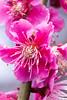 Not a Cherry (Hannah_Nieman) Tags: adventuresinjapan travel plumblossoms bloomingplum plumtree plum blossom flower plumflower pinkflower pink flowers japan nijojocastel nijojo