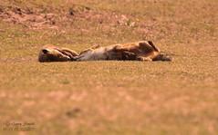 Red Fox (Vulpes vulpes) Netherlands (wildlife_photo) Tags: red fox vulpes netherlands wild wldlife nature holland amsterdam dunes beach canon 7d garry smith daylight flickr mamal