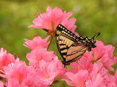 Eastern Tiger Swallowtail (GoldenEagle754) Tags: yard lakemonticello fluvanna virginia butterfly swallowtail easterntigerswallowtail macro azalea blooms blossoms flowers green moss insect invertebrate animal outdoors outside