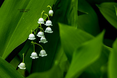 lily of the valley (mariola aga) Tags: andersonjapanesegardens rockford spring garden plant flowers lilyofthevalley white green closeup thegalaxy