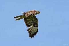 Buzzard (Shane Jones) Tags: buzzard raptor bird birdinflight birdofprey nature wildlife nikon d500 200400vr tc14eii