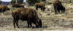 Buffalo (Mike Talplacido) Tags: caprockcanyon caprockcanyonstatepark texas texasstateparks texashistory buffalo tatonka texasbisonherd bison
