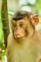 BOR_9319 (lucvanderbiest) Tags: pigtailedmacaque lampongaapoflaponderaap borneo maleisië sabah sepilok orangoetangrehabilitationcenter