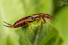 Earwig (Amanda Blom Photography) Tags: earwig oorworm macro natuur insect nature macrophotography groen green
