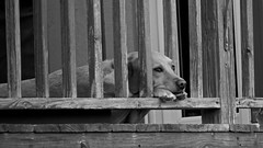longing for freedom (Pejasar) Tags: dog fence bored longing freedom deck