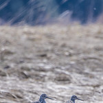 Lesser Yellowlegs x2 805 thumbnail